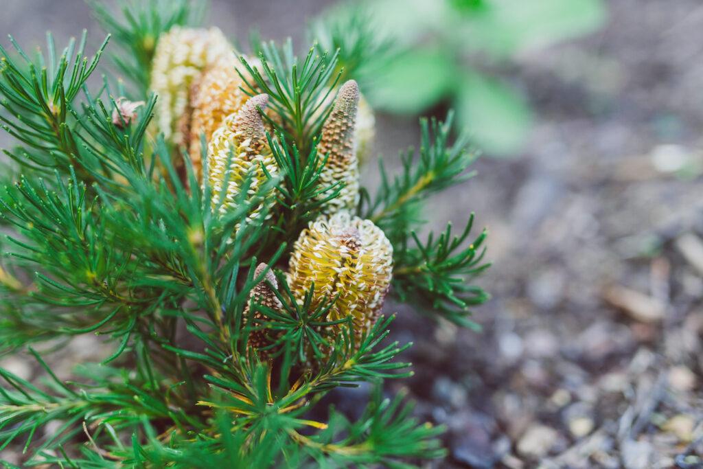 Fine leaf Banksia