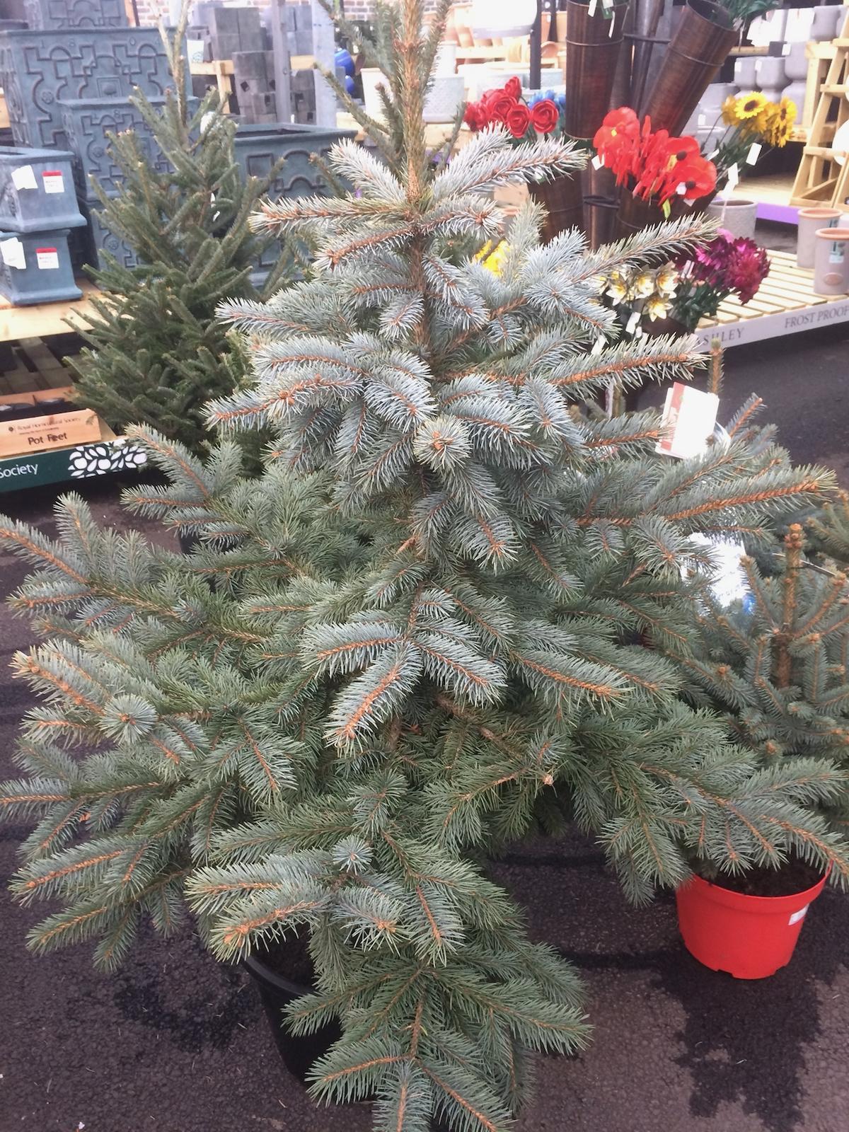 Picea pungens Colorado Blue Spruce