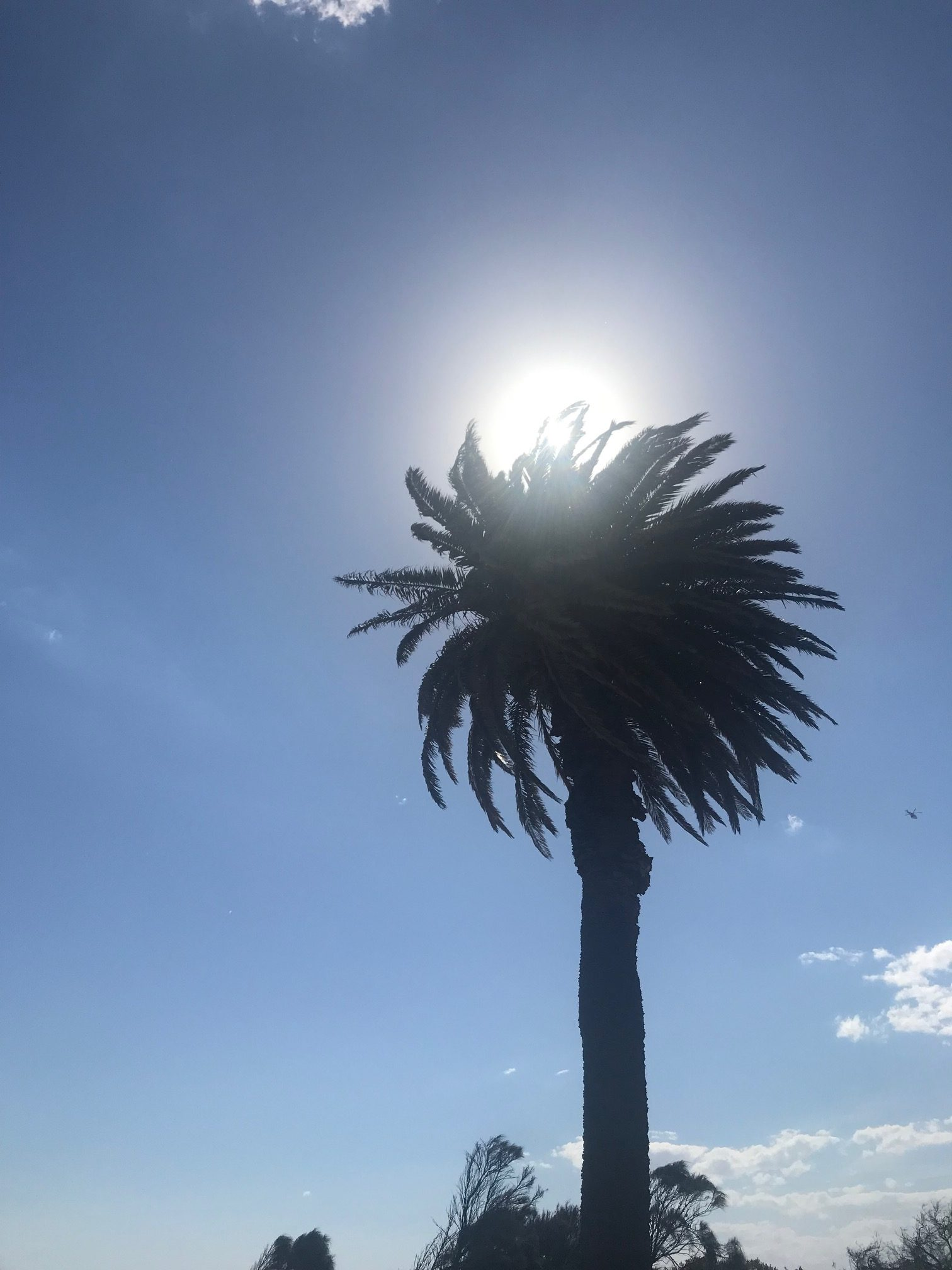 A large palm near Sandringham Lifesaving Club