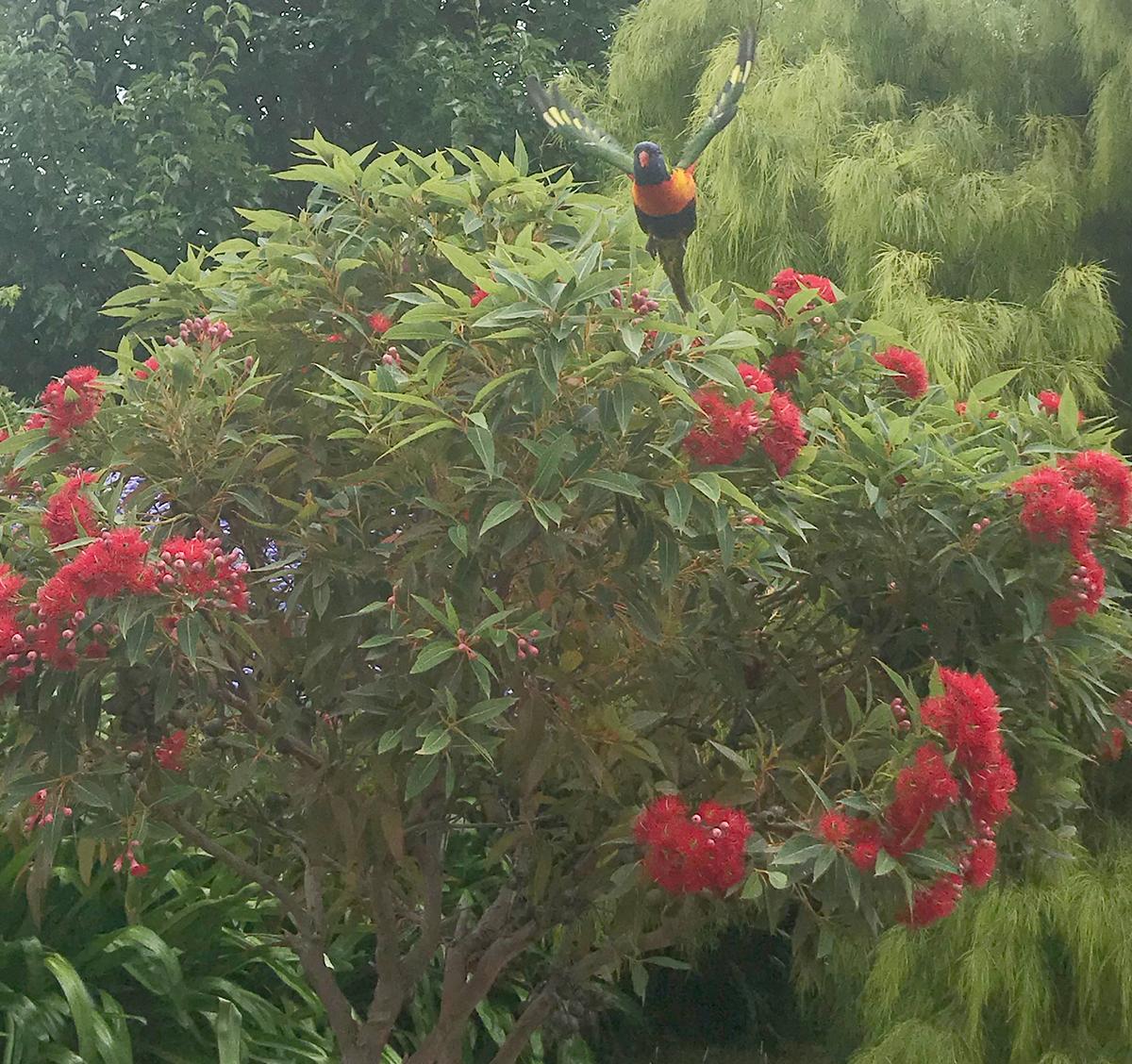 A Rainbow lorikeet flies from a red flowering gum.