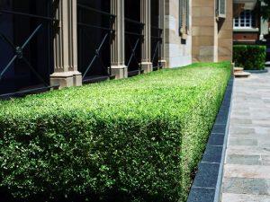 Murraya paniculata 'min-a-min' is a fine textured evergreen wood shrub that makes a great hedge.