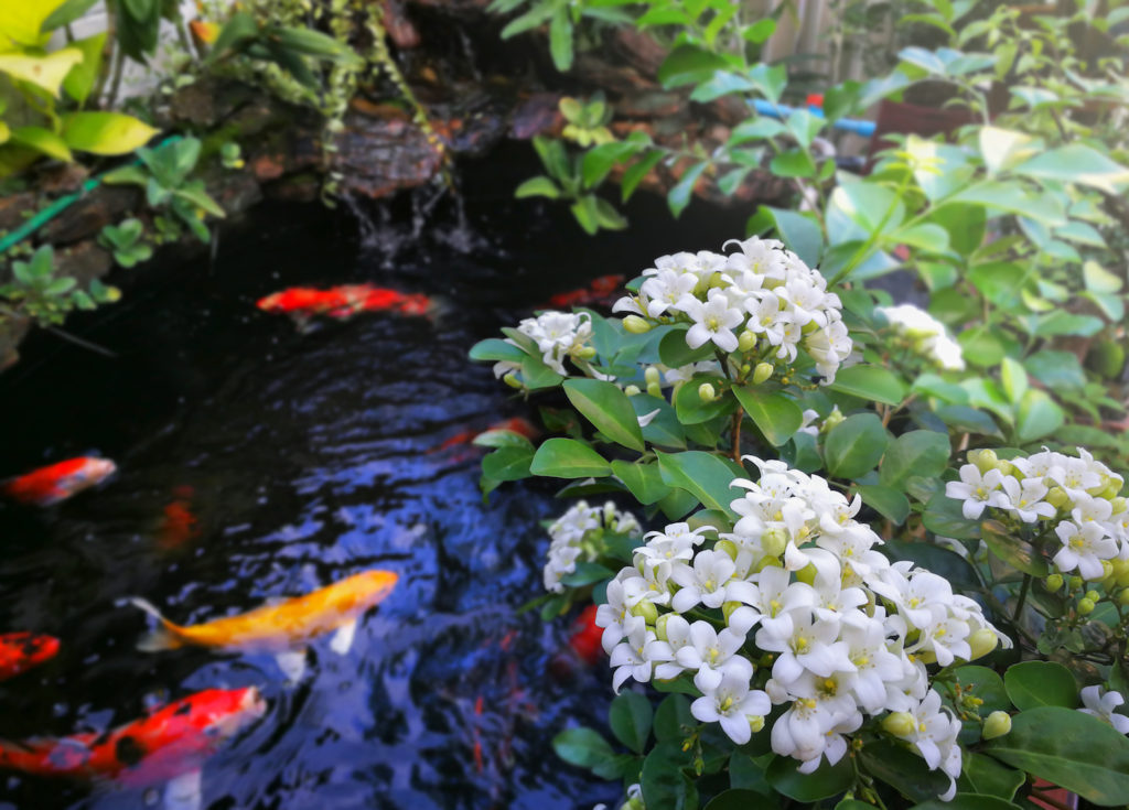 Murraya paniculata or Orange Jessamine, China Box Tree, Andaman Satinwood, Chinese Box-wood on fancy carp fish pond and mini waterfall. Reds Landscaping Melbourne Landscaper.