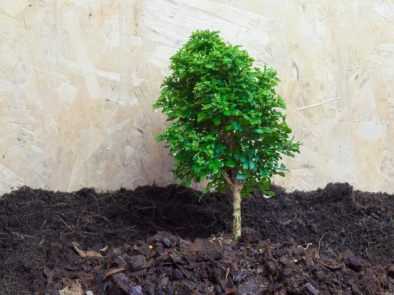 Melbourne Landscaper - Dwarf Murraya paniculata