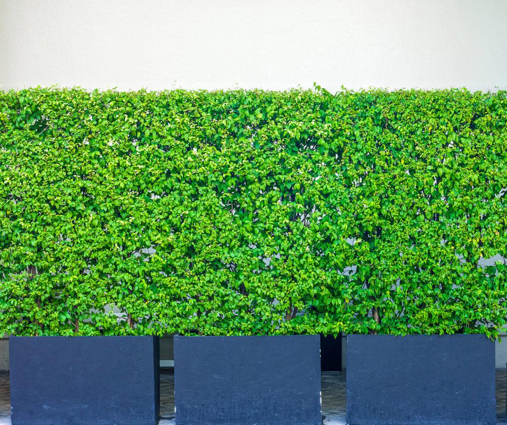 Murraya Paniculata hedge in pots.