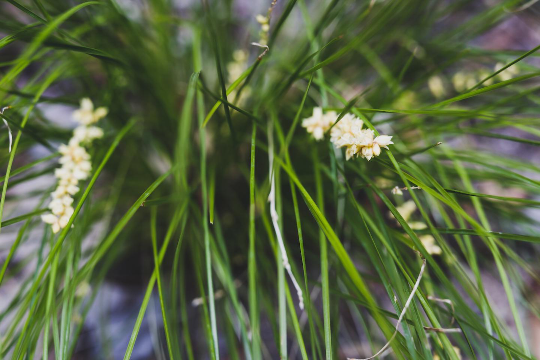 Lomandra Flower