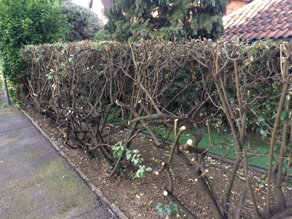 A hedge that is not properly maintained may have to be cut back hard. This can leave a bare appearance.
