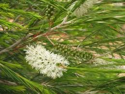 Melaleuca Armillaris. Fine needle like grey-green to deep green leaves with dense clusters of cream bottle-brush style flowers that will attract birds
