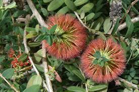 Melaleuca hypericifolia - Leaves are mid to deep green on the upper side. Bottle-brush style red or crimson flowers