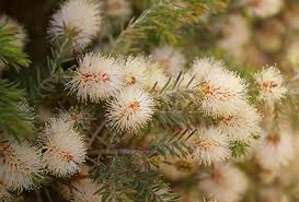 Melaleuca Incana is weeping shrub with soft pale yellow brush-like flowers and blue-green or grey foliage