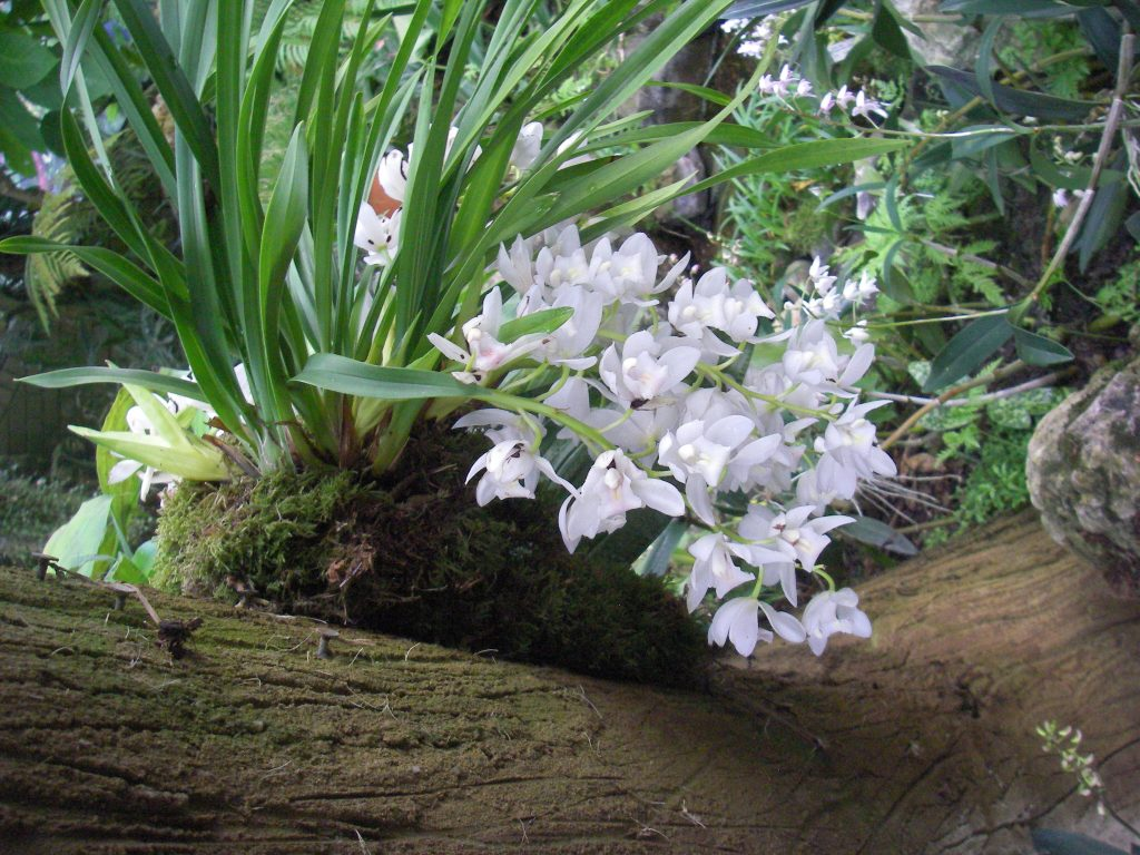 An epiphytic orchid growing on a tree branch. Epiphytic orchids are ideal for vertical gardens.