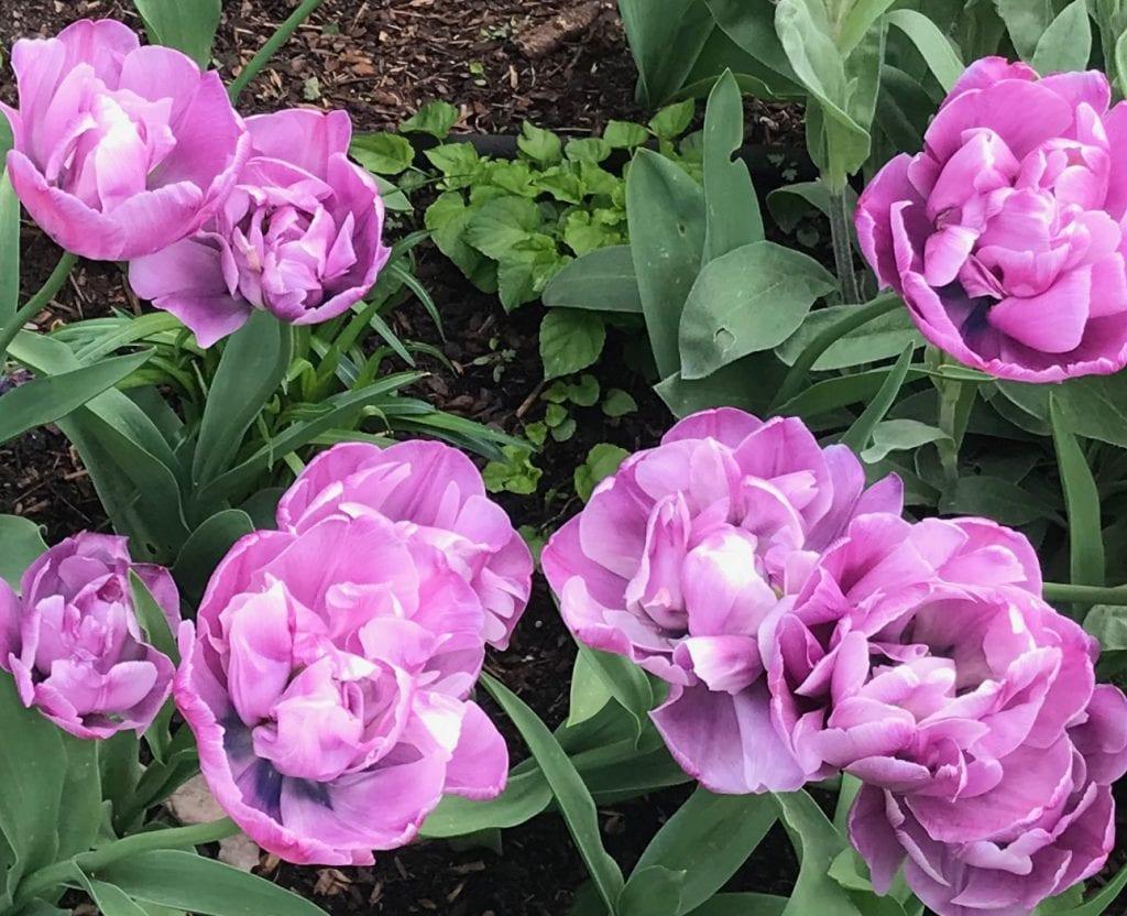Blue Diamond Tulip