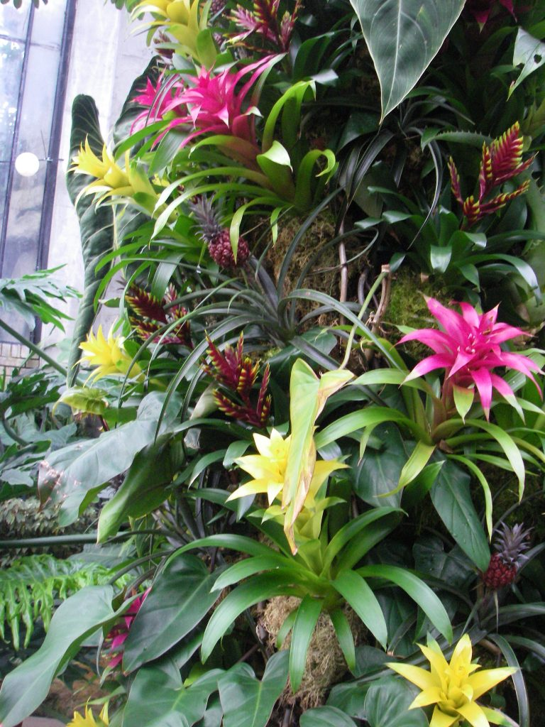 Colourful epiphytic Bromeliads in a vertical garden growing in sphagnum moss.