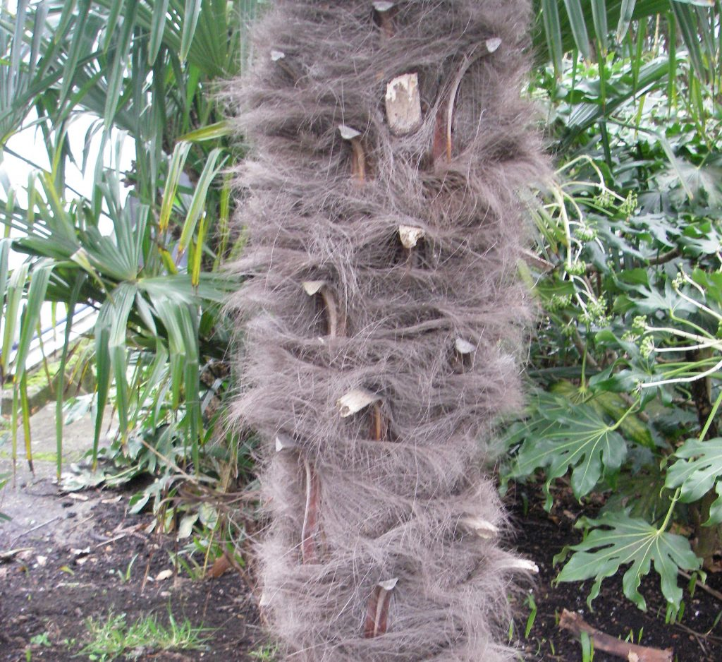 The fibrous trunk of the Trachycarpus fortunei also know as the Chusen palm or Chinese windmill palm is an ideal place to start your vertical garden.