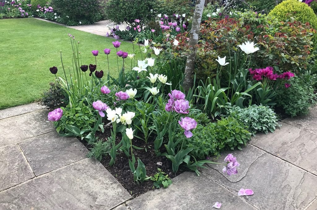 Tulips grouped into small clusters near garden paving