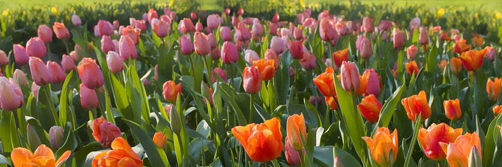 Landscaping idea. Tulips planted as a colour gradient from yellow to red with a few pink ones hidden amongst the crowd.