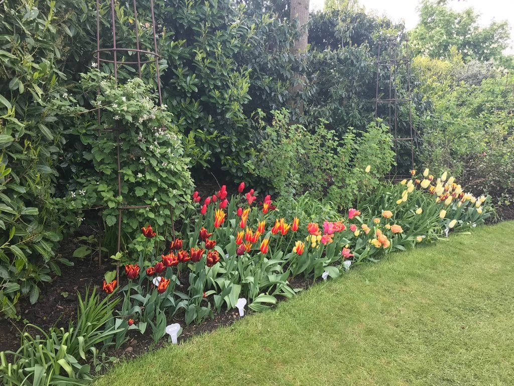 Planted in clusters on the edge of a garden bed by the lawn. Starting with deep red at one end and graduating to a lighter red, then orange and finally yellow. This effect can also make a small garden appear larger. Note also the contrasting foliage.