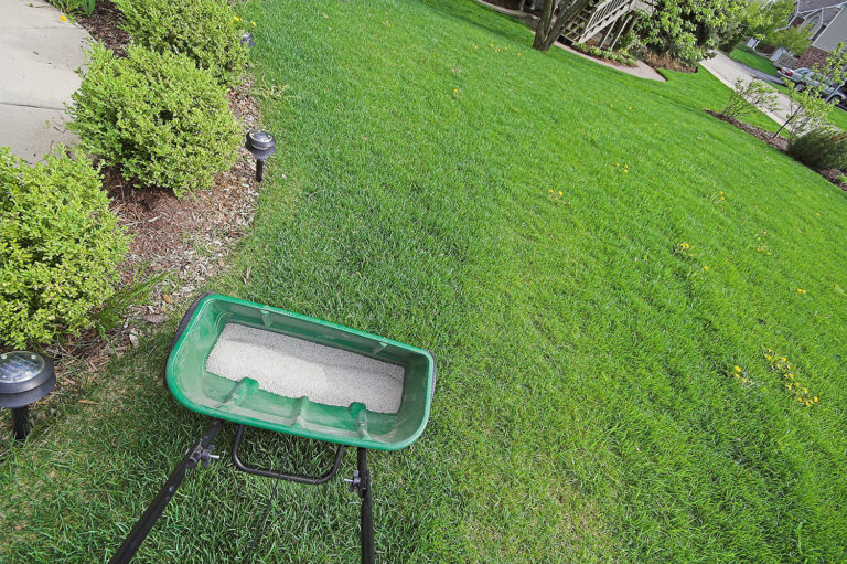Garden Maintenance. On large lawns use a fertilizer spreader to ensure an even spread.