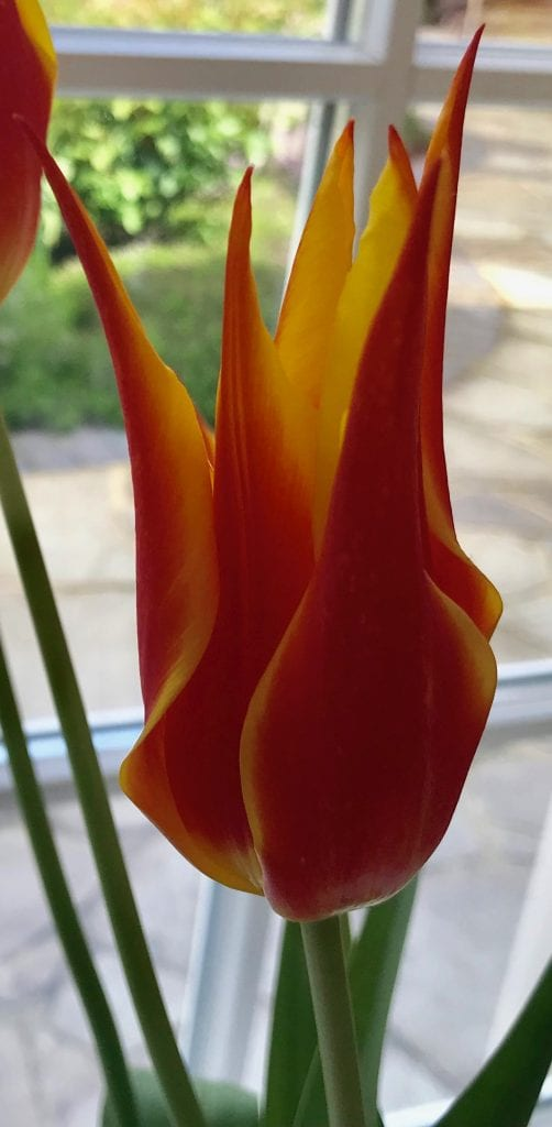 Tulips Fly away is a tall lily shaped tulip growing to 60cm.