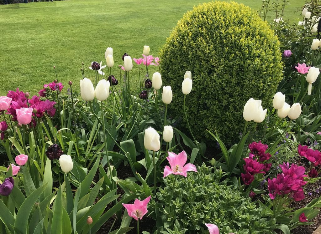 Garden idea. Plant near a topiary or standard plant like a Buxus Sempervirens or Murraya. This will give your tulip added contrast.