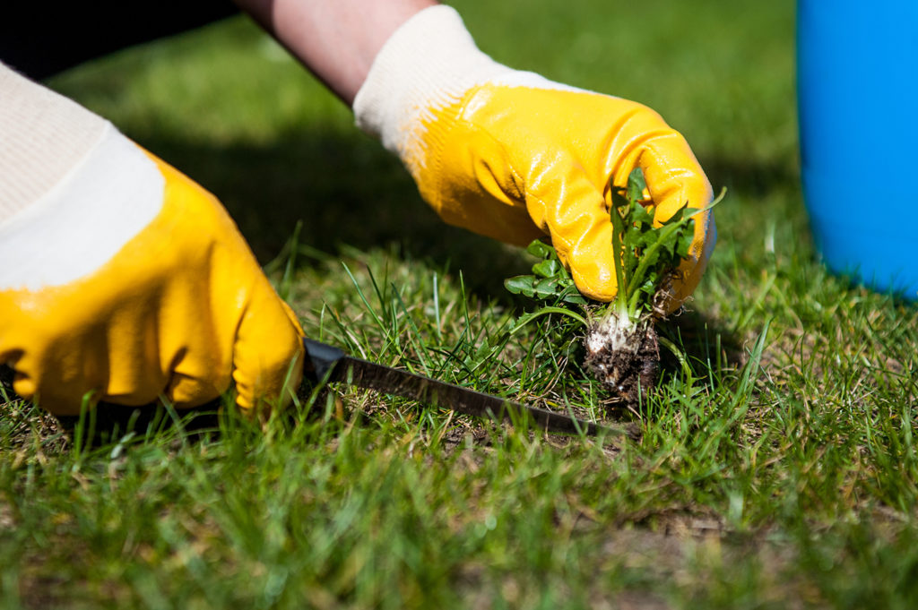 Broad leaf weeds can be removed by hand or with a selective spray. Gardener Melbourne