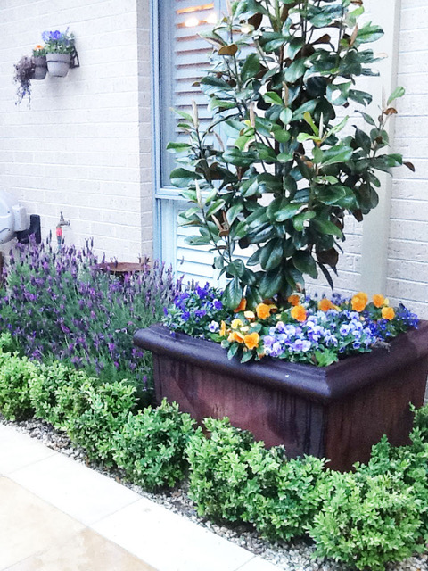 Small Garden Design Idea. Magnolia Little Gem in a planter pot. Box hedge and lavender as well as pansies provide design contrast with the dark green leaves of the magnolia.
