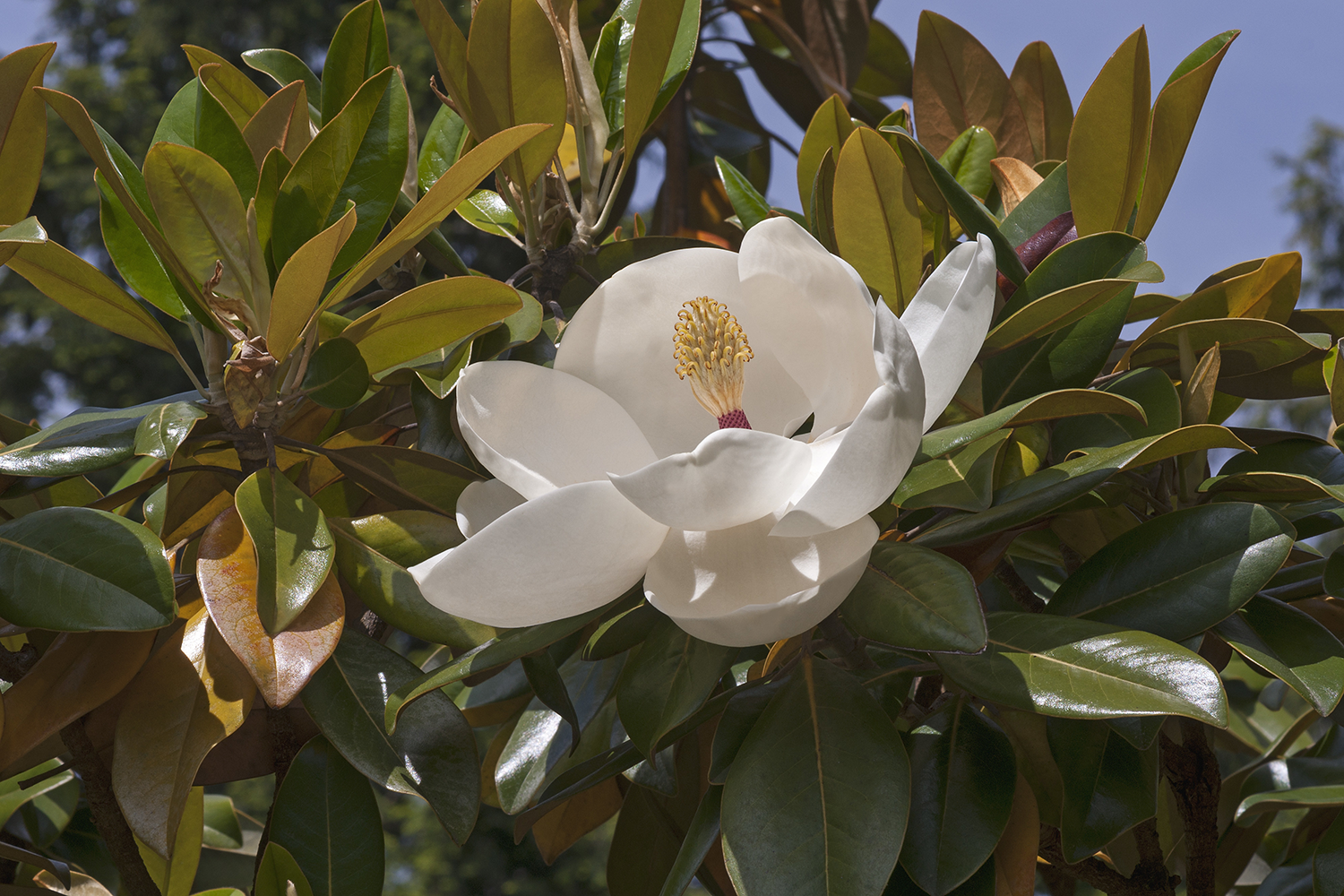 Landscaping Melbourne – Magnolia Exmouth in Flower