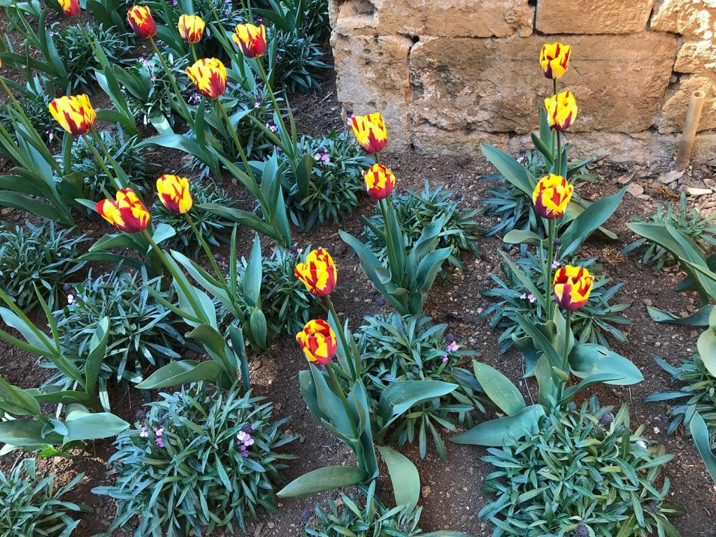 Garden design idea. Tulips in garden beds with yellow and red flowers.