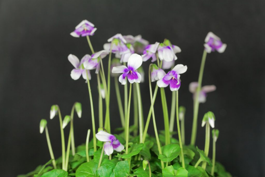 Viola hederaceae or Native Violet in an Australian native shrub that is ideal for your coastal garden