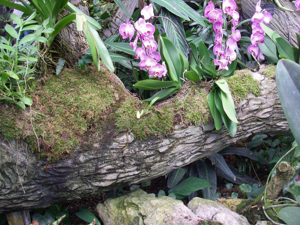 Orchid Varieties - Oncidium orchid Van Lansberger. - Kew Gardens