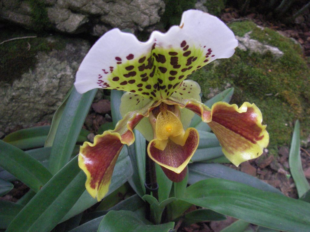 Varieties of orchids. Paphiopedilum or slipper orchid with mottled blood red and yellow flowers. Grow Paphiopedilum in a warm shaded position avoiding any direct sunlight. Keep above 13°C in winter. Take care not to overwater.
