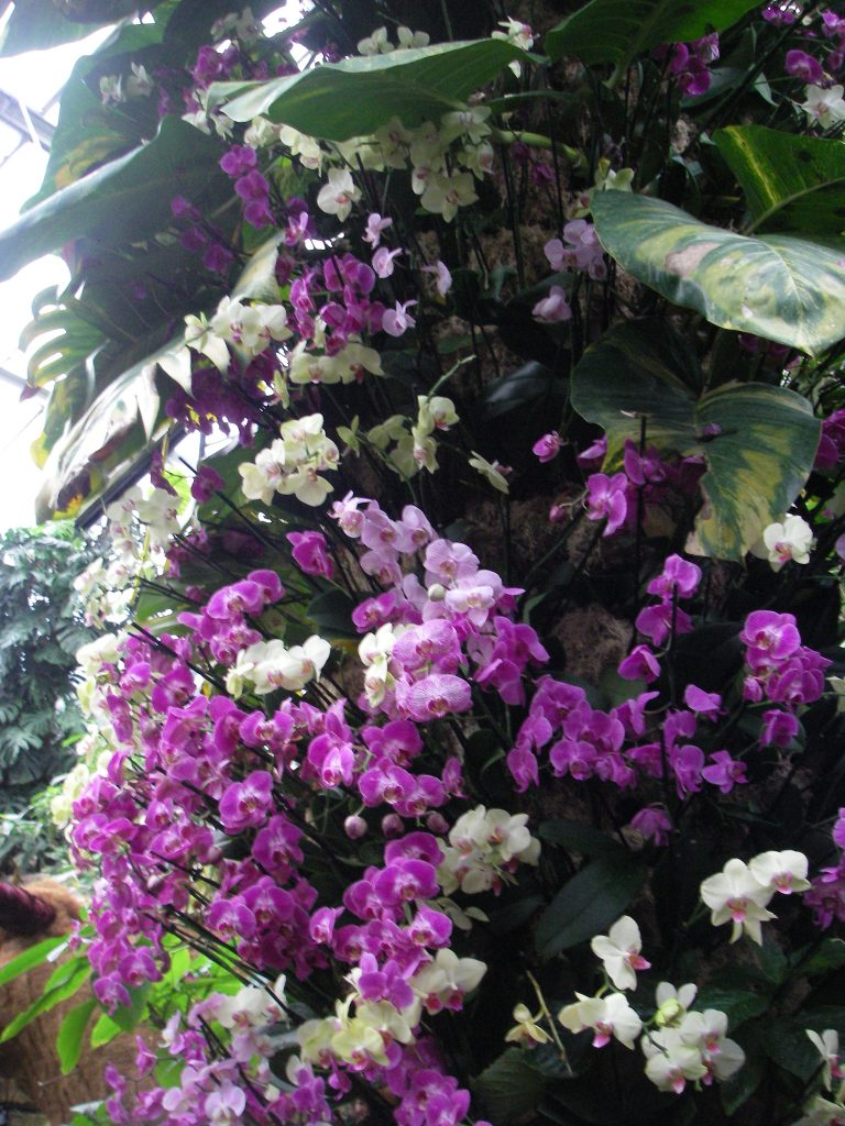 Phalaenopsis (moth orchids) enjoy the warmth. When grown as an indoor plant they have long-lasting flowers all year.