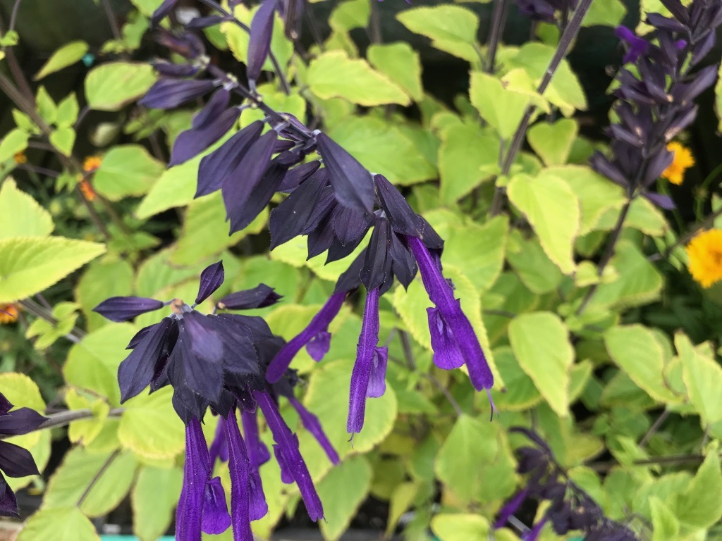 The Salvia Amistad with its very dark purple almost black calyx.