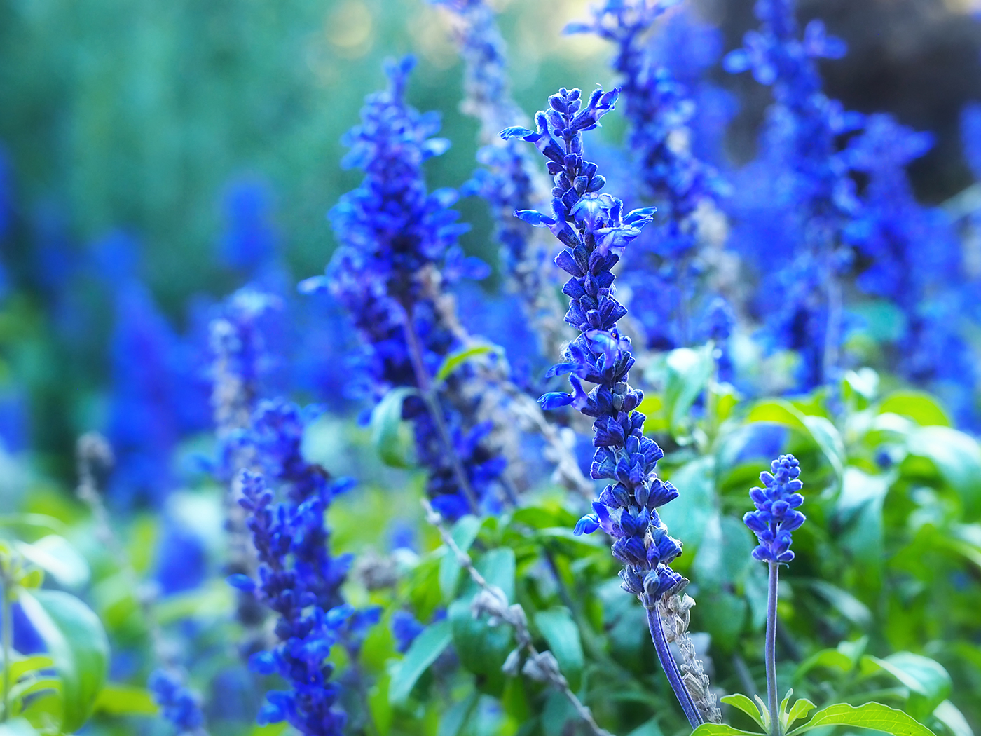 The bright blue flowers of S.farinacea or Blue Salvia, also known as mealycup sage.