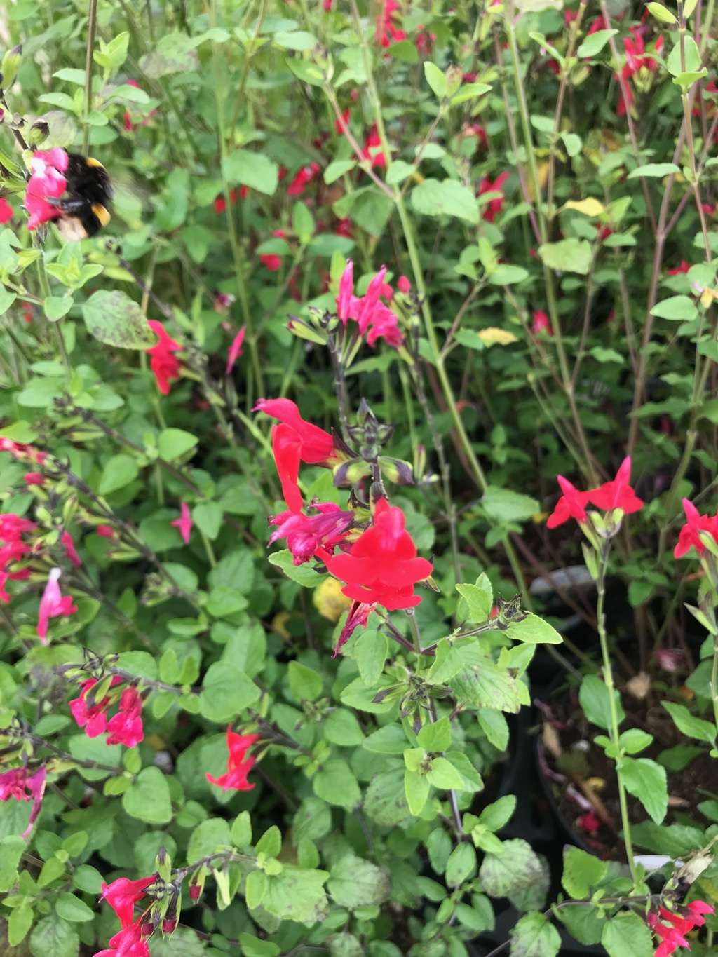 Salvia × jamensis is a bushy shrub to 100 x 50cm, evergreen in mild localities like Melbourne, with aromatic ovate, toothed mid-green leaves. Suitable for both Beds and Borders the wonderful flowers can be Bright Red, rose-pink, salmon pink, orange or creamy yellow. Flowers in summer and autumn.