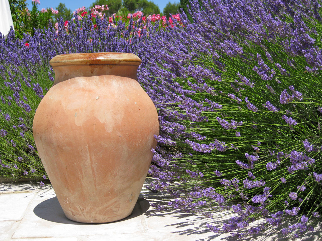 Lavender or Lavandula with a terracotta pot