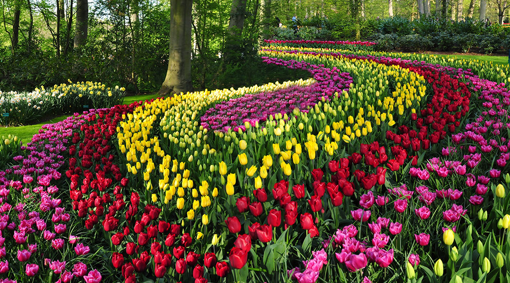 Tulips in an ornamental flower bed in Keukenhof Garden, Netherlands