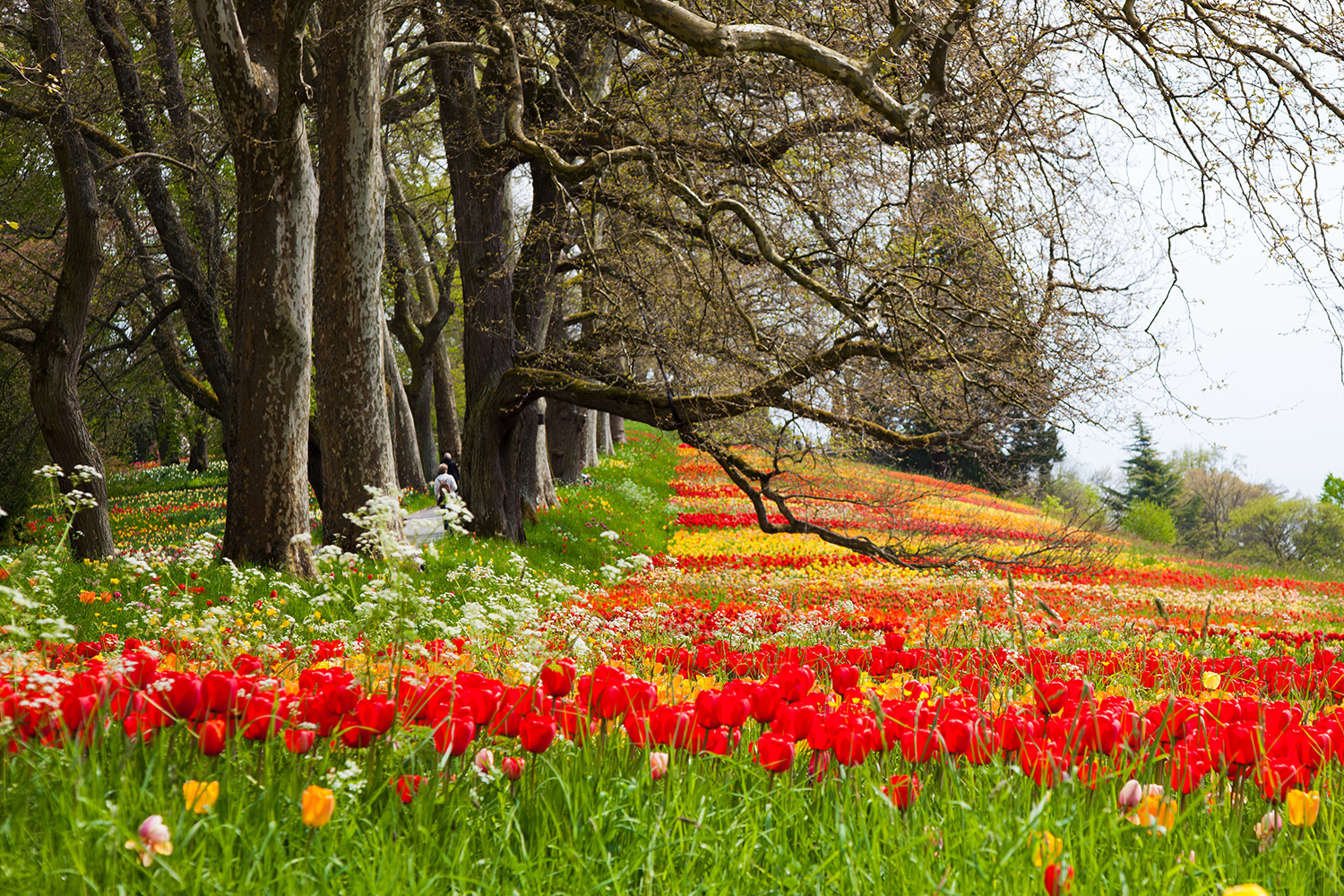 Landscaping idea. Growing tulips in a grassy meadow under trees. The bees and other insects in your garden will love it. The red and green looks great together.