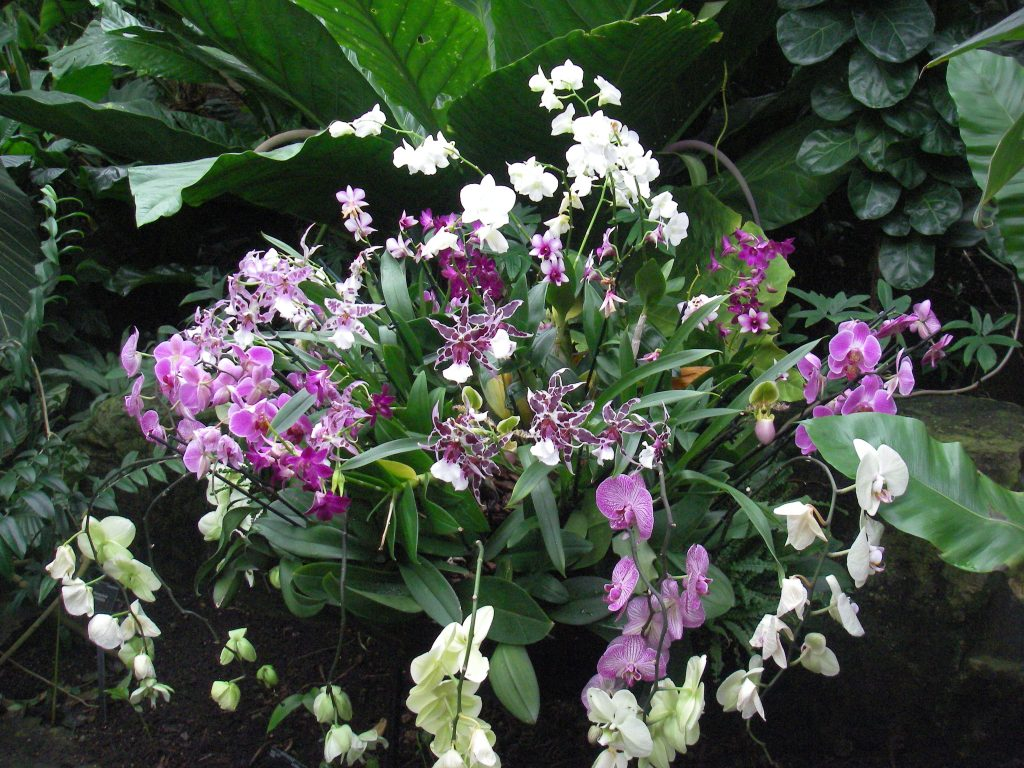Varieties of orchids. Vandas have a spectacular range of blooms, with flowers in blood red, hot pink, blue, purple, or mottled.