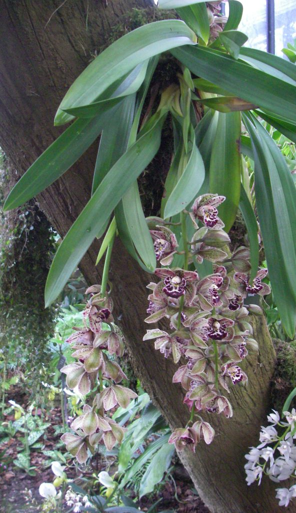 Varieties of orchids - The coconut pie orchid Maxillaria tenuifolia. A epiphytic orchid from Central America. Usually, but not always, found growing in trees. These will bring the fragrance of coconut pie to your vertical gardens. - Kew Gardens