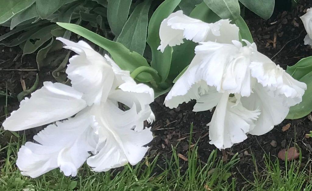 Tulips - White Rebel