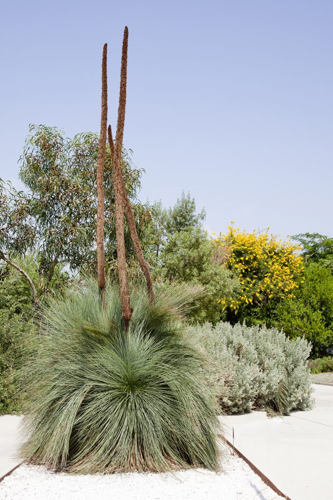 The blue-green leaves of Xanthorrhoea glauca create a great contrast with pebbles or stone mulch.