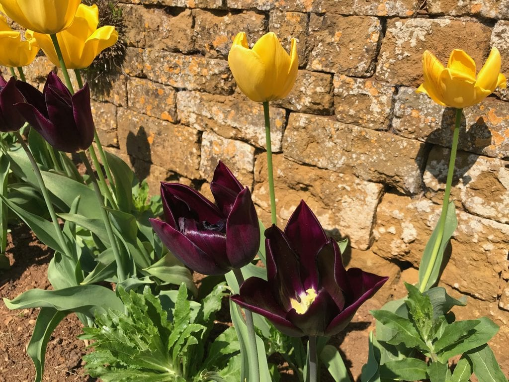 Garden design idea. Try combining dark red and yellow tulips in the same garden bed.