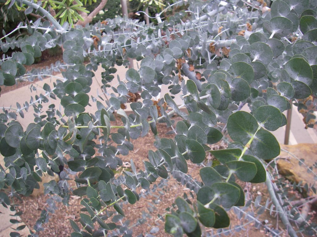 "Eucalyptus gunnii ""little boy blue"". A compact variety of gum from Tasmania with stunning grey-blue foliage."