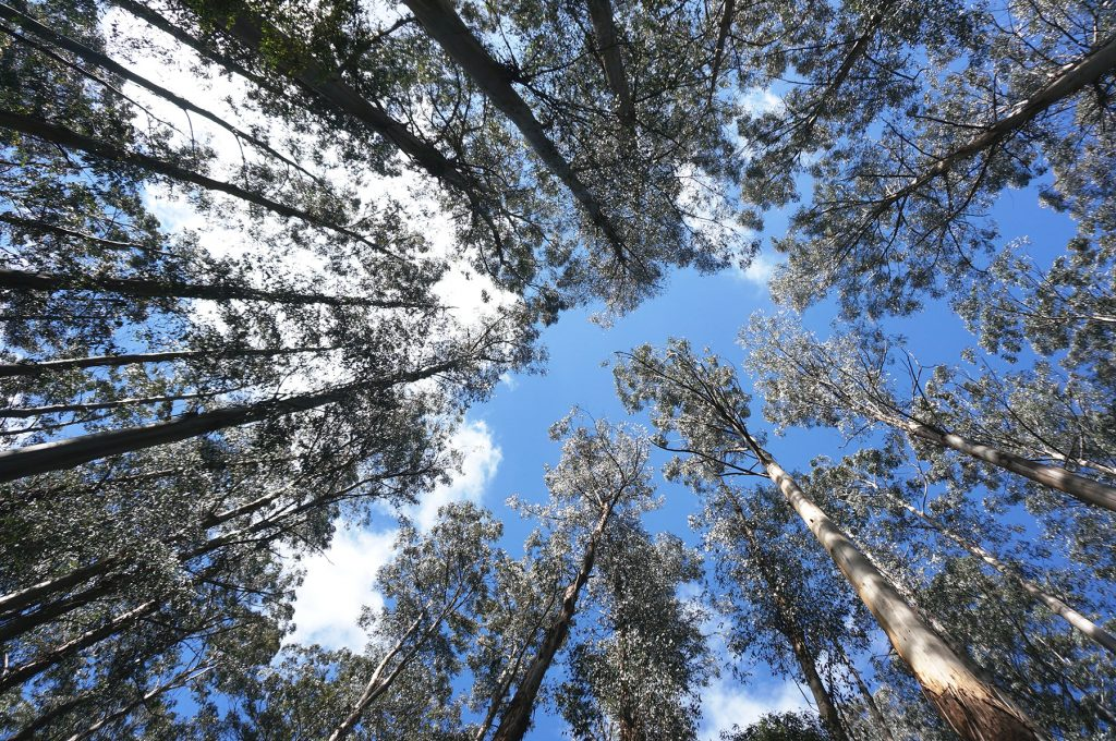 Eucalyptus regnans – The worlds tallest flowering plant