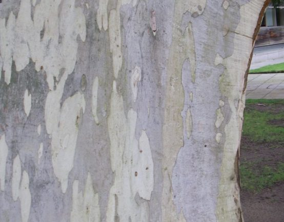 Mountain Gum or Eucalyptus dalrympleana has flaking grey and white bark.