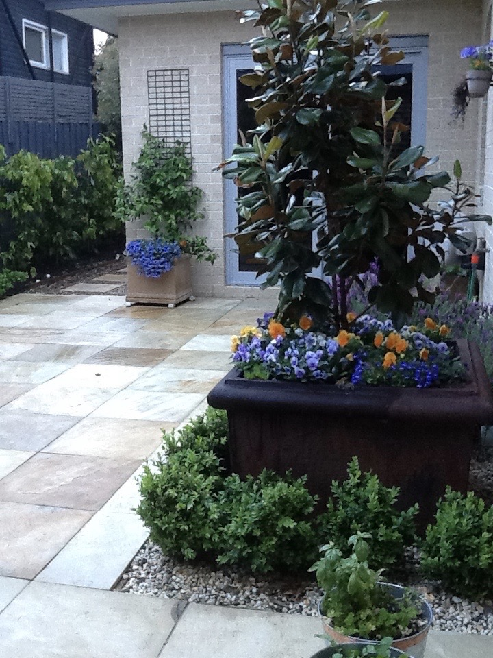 """Magnolia grandiflora """"little gem"""" in a planter pot."""