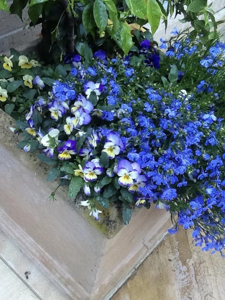 Pansies and Lobelia in a concrete garden pot.