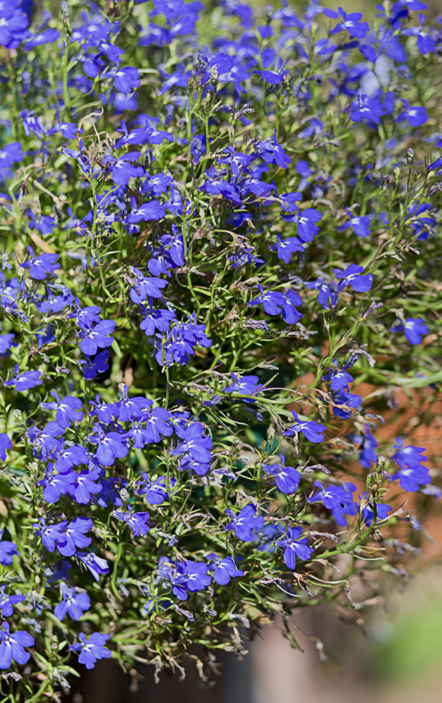 Cottage Garden Plants-Blue Nemesia