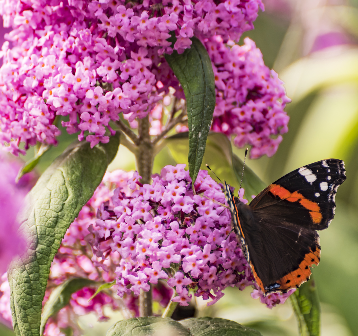 Cottage Garden Plants-Red Admiral Butterfly on Buddleia. This is a great plant for attracting butterflies.
