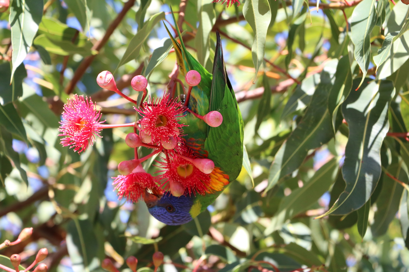 Corymbia ficifolia or red flowering gum is native to southern Western Australia.